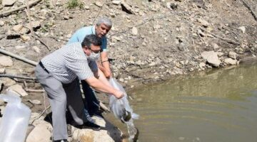 20 bin aynalı sazan gölete bırakıldı